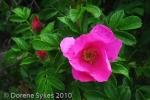 3-Beach rose